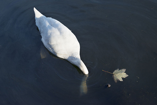 Along the Hackney Canal -Swan 620