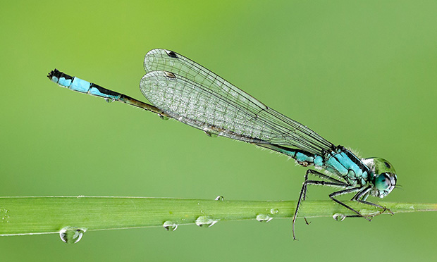 A Banded Demoiselle dragonfly.